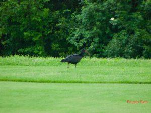 """Benvenuto """"Luigi"""", ibis eremita al Golf Rapallo"""